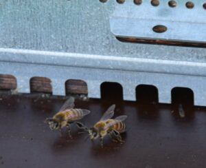 Bienen_Zeppelinschule_groß